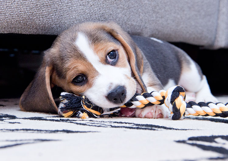 baby-beagle-puppy-chewing-rope