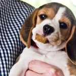 baby-beagle-puppy-eating-treat