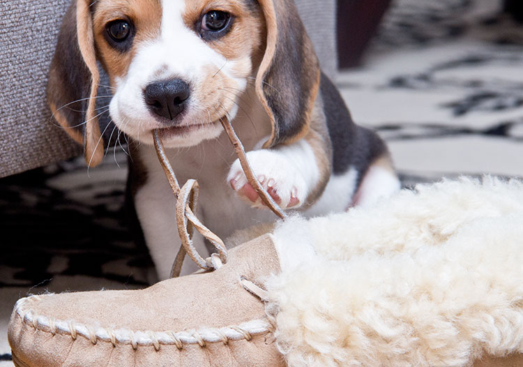 baby-puppy-chewing-slipper