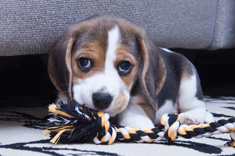 8-week-beagle-puppy