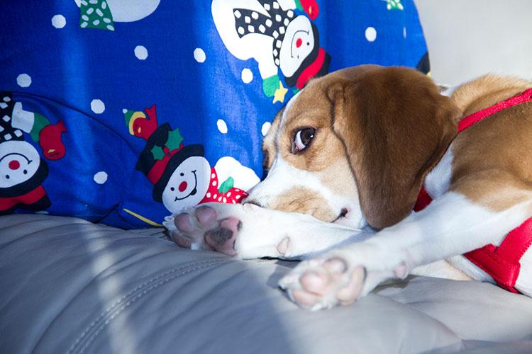 beagle-christmas