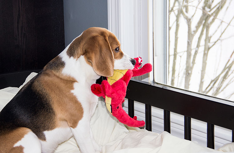 beagle-looking-out-window