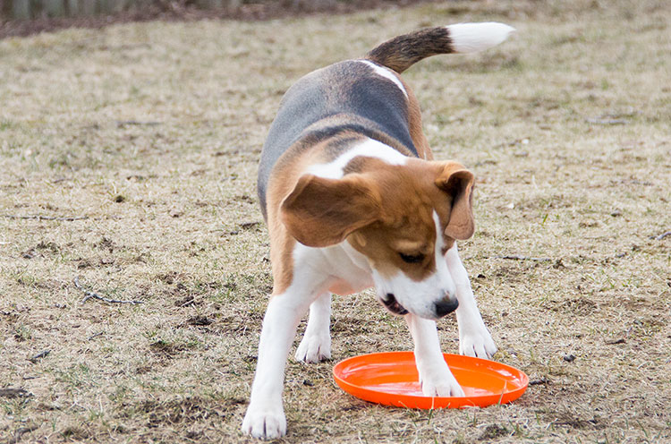 beagle-playing-frisbee