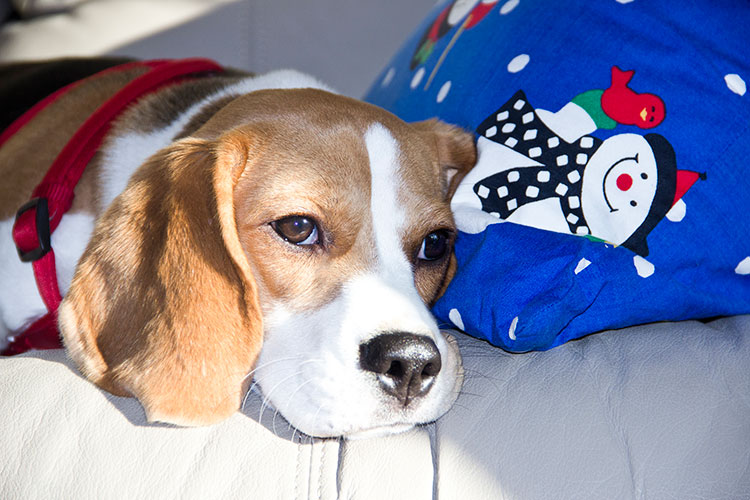 beagle-portrait
