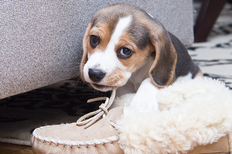 beagle-puppy-chewing-slipper