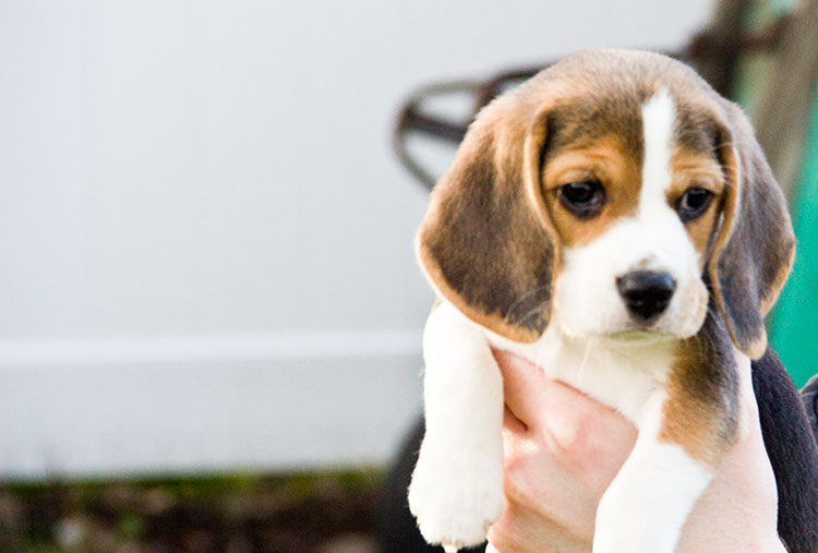 beagle-puppy-web