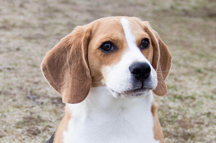 one-year-old-beagle