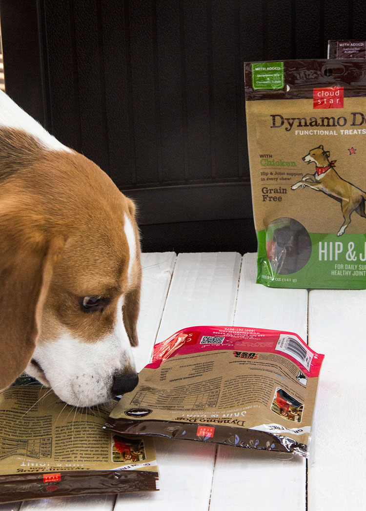 Beagle-Sniffs-Dog-Treats