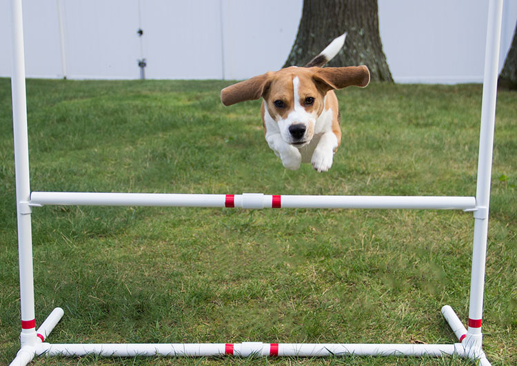 beagle-jumps-over-agility-bar