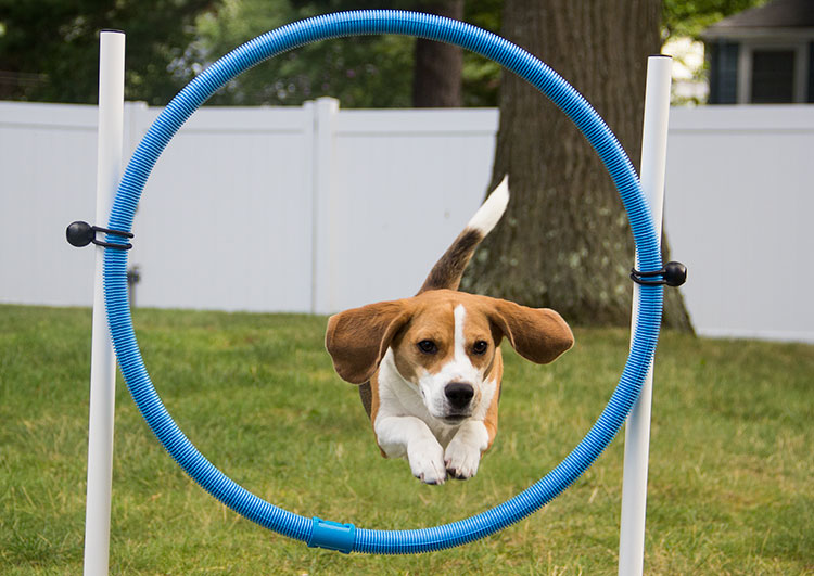 beagle-jumps-through-agility-hoop