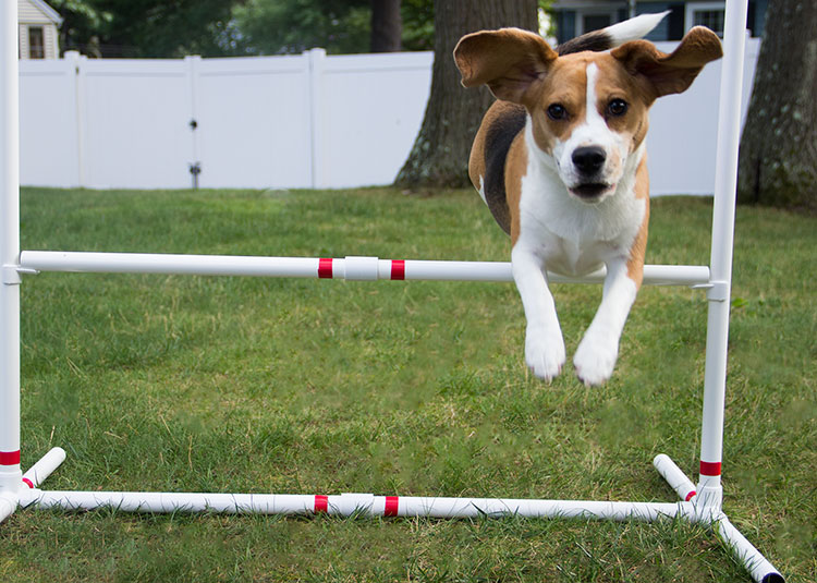beagle-leaps-over-agility-bar