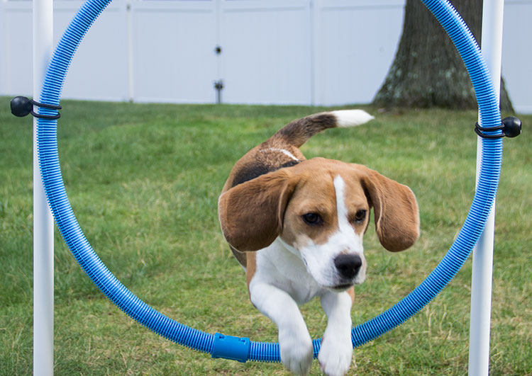 beagle-leaps-through-hoop