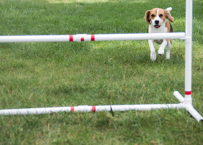 beagle-runs-through-agility-course