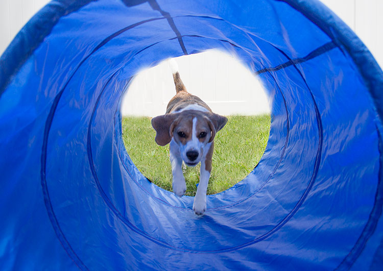 beagle-runs-through-agility-tunnel