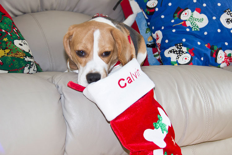 beagle-at-christmas
