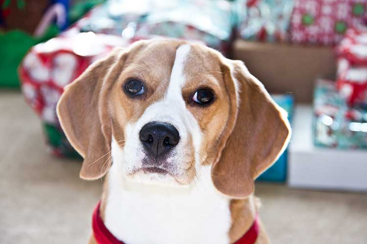 beagle-in-front-of-gifts