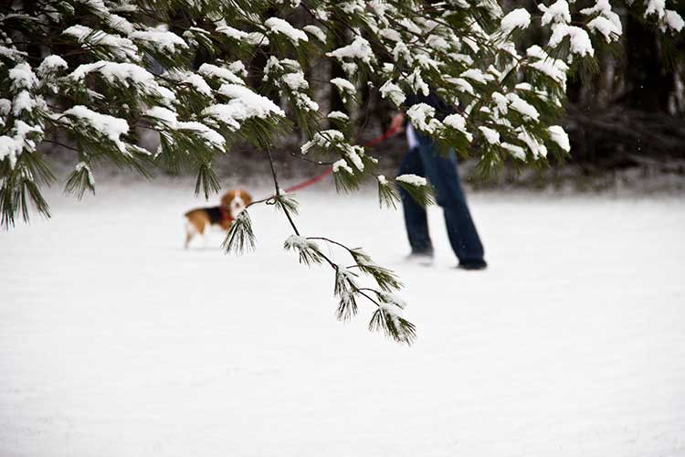 beagle-taking-walk-in-snow