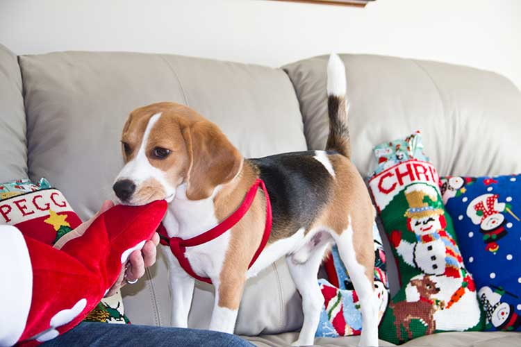 beagle-with-christmas-stocking