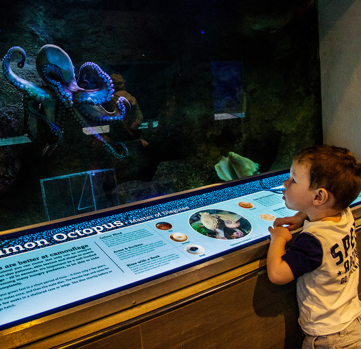 Octopus-at-Bermuda-Aquarium