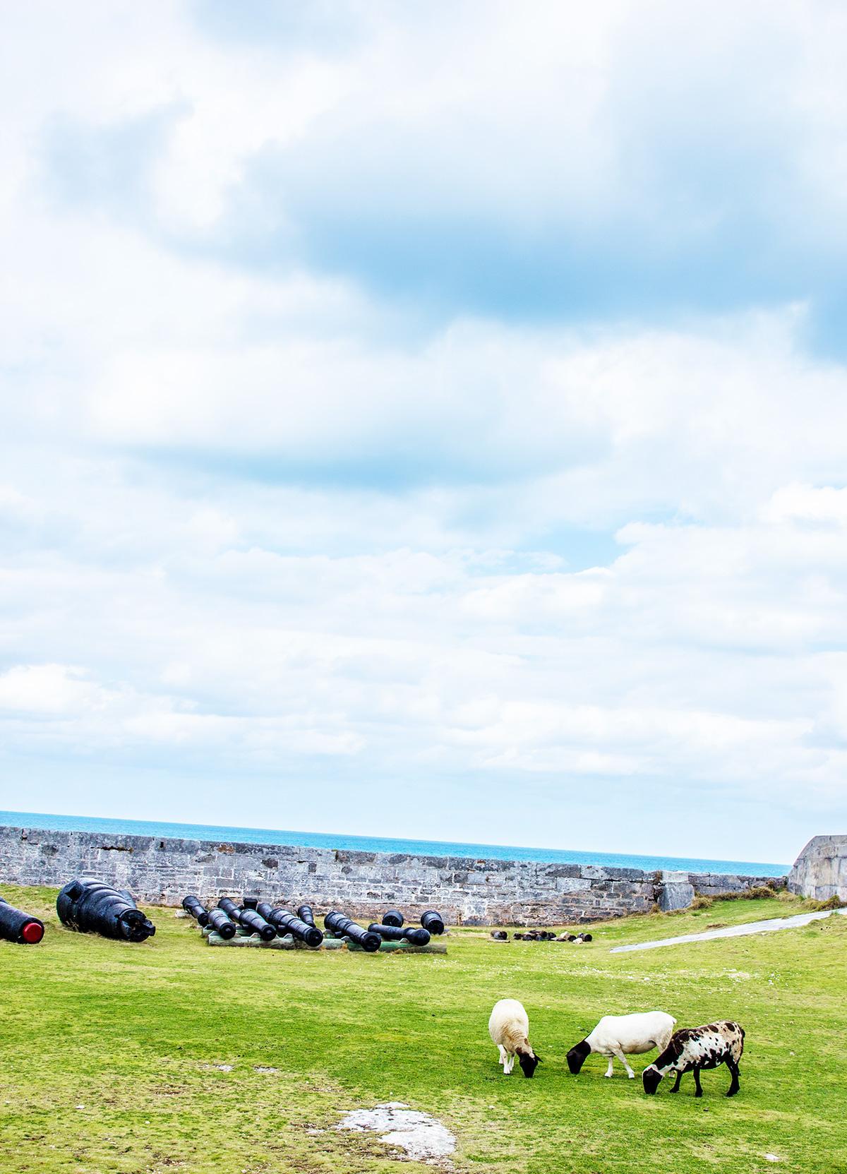 Sheep-Grazing-At-National-Museum-of-Bermuda