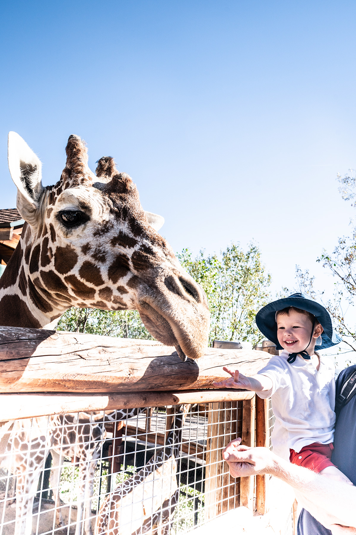 Feeding-Giraffes-at-Cheyenne-Mountain-Zoo
