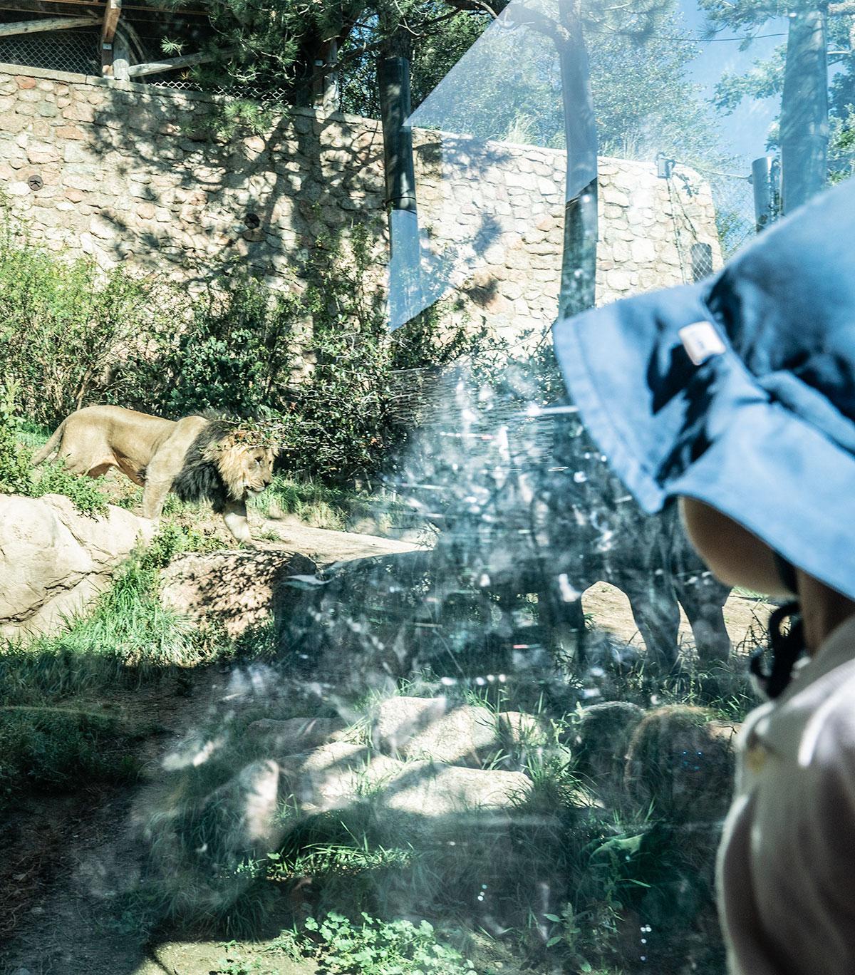 Lion-Cheyenne-Mountain-Zoo-Colorado-Springs